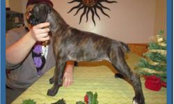 CKC Registered 1/2 European Brindle Boxers.  1 girl, 3 boys left. Image 1: boy Image 2: boy Image 3: girl Image 4: boy Puppies come with:* CKC Registration * Tails and Dewclaws Removed * First set of shots * Dewormed * 2 year Breeder Health Guarantee *