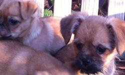 Price reduced. Only 1 girl left! Sweet little Brussels Griffon X puppies. Mom is a pure breed Brussels and Dad is a Pug/Bichon. This little ones will mature to about 8lbs. She has been Vet checked, dewormed, first shots and tail is docked. Socialized with