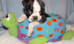 Loving Puppies for a Loving Home. Both male and female,parents are on site. This is the only bug you will want to love. They are Happy,Healthy and Playful. Home Raised and very well socialized. Raised on a good quality food. Vet checked,first