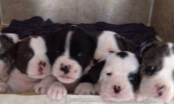 Bulldog puppy's!!  pure bred alapaha blue blood bulldogs 2 males and 2 females  left,  lots of colours very rare breed excellent family dogs very intelligent and loyale great with kids, they had there first shots and vet check ups registered and a health