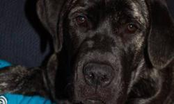 Bullmastiff cross lab retriever, black brindle female, fully house trained, has beginerpuppy and intermediate obediance training, kennel trained, good with kids, other dogs when properly introduced, very smart, very kind and loyal, great family dog and a