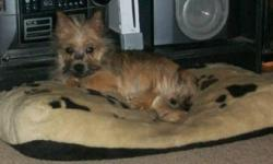 Just like Toto from the Wizard of Oz We still have one male cairn terrier pup out of a litter of five looking for a home. Now that the holiday's are over we are advertising him again. Cairns are hypo allergenic, non shedding small dogs (9-11 inches