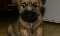 WE HAVE 6 STUNNING CAIRN PUPPIES READY TO GO THIS WEEKEND.  2 BOYS AND 4 GIRLS  (ONE FEMALE ONE MALE SOLD)  THESE CAIRN PUPPIES ARE WELL BRED WITH NO GENETIC PROBLEMS IN THEIR BACKGROUNDS.  THEY HAVE LOTS OF PERSONALITY AND ARE WAITING FOR THEIR RIGHT