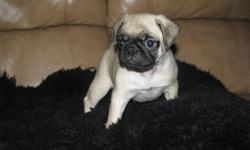 Beautiful CKC Registered Pug Puppy   We have one little boy still seeking adoption.  He has been dewormed, has first vaccine, is microchipped and will be CKC registered.  He will include 6 weeks of complimentary pet insurance as well as a puppy pack
