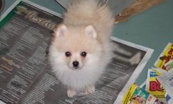 """Meet """"Timmy"""" a Pure bred Pomeranian male Puppy. Born... October 11th 2011. Colour...Cream. """"Tim"""" has a mild heart mummer.He has had 2.Vaccinations and Vet.check ups. Our Vet .says he will probably out grow this heart mummer with out surgery. """"Tim""""needs a"""