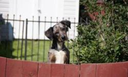 Memphis is 3/4 Catahoula Leopard dog, 1/8 Blue Heeler and 1/8 Border Collie.I have both of his parents and they are able to be seen. He found a home when he was 4 months old and was returned to me just over a month ago because of a change in the families