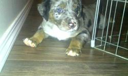 Memphis is almost a year old. He is 3/4 Catahoula Leopard dog, 1/8 Blue Heeler and 1/8 Border Collie.I have both of his parents and they are able to be seen. He found a home when he was 4 months old and was returned to me just over a month ago because of
