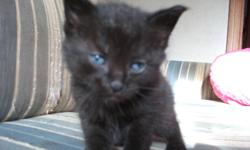 FREE   Kittens   Born Oct/30/11   Ready to go. They are litter trained and eating on their own.