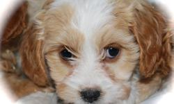Cavachon Cavalier King Charles Spaniel X Bichon Now 10 weeks of age Non shedding and Hypoallergenic Family Friendly WHY CHOOSE OUR CAVACHONS M and F Peace of Mind:   We are reputable, experienced and licensed. We have so much confidence in the health of