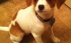 Beautiful Cavalier/Chihuhua cross puppy. This 5 month little girl has gorgeous markings.  She is smart, playful, well behaved, and eager to please.  She is also a cuddly lap dog, who loves to snuggle.  She plays well with other dogs and comes running when