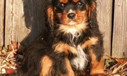 We have two Black and Tan Cavaliers ready to go to loving family homes.  The first one is a gentle soft natured handsome boy and the one in the next three pictures is a spunky, tiny girl with lots of character. For more info call my cell 778-866-5197 or