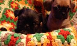 1 male and 3 female Brussels Griffin/Cavaliers($450) - soft and fluffy little gremlins ready to go Feb.8th with vaccines, de-worming, vet check and Revolution treatment. Very well socialized, happy little pups that will likely be non-shedding and