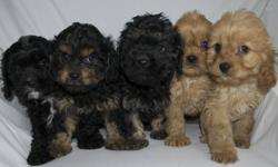 Adorable , intelligent , loving family. Companions. Parents on site. Health guaranteed. To be about 12 to 15 pounds as adults. Very well socialized. Please call 289-700-0411 for appointment. Happy to answer questions.