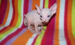 One Female (white, may get some cream on her) and three white male sphynx kittens available(looks like one is an odd eyed), will be ready to go first of January. All kittens are spayed or neutered, vet checked with a health certificate, 2 sets of vaccines