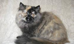 Long time ten years, reputable CFA registered show hobby cattery has a health guaranteed solid tortie (red/black) color pet quality Persian female to approved home. Registered Himalayan catteries with quality like this are hard to find. It is not true