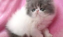 Come see the Difference, persians with quality that shows!!! vet recommended-- this is our beloved hobby we love our persians and know you will to !!! Registered reputable CFA breeder with over two decades of expereince-CFA reg since 1989 NEW AVAILABLE TO