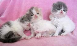 Oceanpurrls Persians CFA reputable registered breder since 1989 is proud to announce new  extreme top of the line persian kittens for sale please check out web site for available kittens and prices --all set individually on each kitten     All kittens are