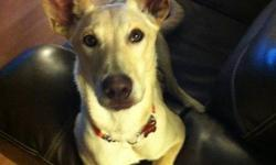I am currently fostering a male approx 8 months old. He appears to be a Shepherd Lab X and he is 40-45 lbs. He and his brother, Joey, came to Happy Dog Acres as puppies and they were both in really rough shape. Since then the staff has taken care of them