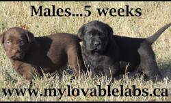 LOVABLE LABS HAS BEAUTIFUL ENGLISH STYLE CKC REG LAB PUPPIES FOR SALE....CHOCOLATE & BLACKS.... $750...MATURE TO 70-85LBS READY TO GO NOVEMBER 11TH WEEKEND SHIPPING AVAILABLE ACROSS CANADA. ALL PUPPIES COME WITH:  CKC REGISTRATION (NON-BREEDING),