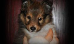 Three quality Sheltie Pups available to approved homes. One sable male and two tricolor females. They are CKC Registered, champion sired pups who have been well socialized and raised in our kitchen. Please visit our website for more individual information