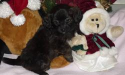 Chihuahua X Pekingese Better known as Cheeks!!   There is 2 males and 1 female left!. The first 3 pictures is the female. They will come with vet records Our puppies are vet checked with records, 1st shots, and de-wormed. For more information please call