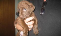 Chesapeake Bay Retriever puppies:  Going fast!  We only have 2 male pups still available - 1 sedge/deadgrass and 1 dark brown.  Both parents are CKC registered, champion/show quality, love to retrieve, and are certified clear of hereditary hip and eye