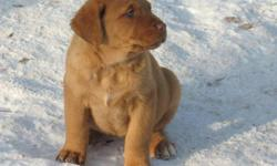 Chesapeake Bay Retriever Pups -3 females left to go to good homes -1 sage colored pup and 2 chocolate -Family friendly, good temperaments, great hunting companions -3rd picture is of the father -4th picture is of the mother Call Randy at 306-441-7008 for
