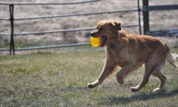 Mother Chesapeake Retriever Father Golden Retriever 2nd litter to the same parents. In both litters there were more black puppies than golden or brown 1 male left, and 6 females. Very friendly outgoing family dogs, love water and room to play Medium to