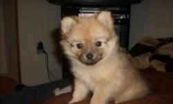 Have two female chi-pom pups ready to go now. One brownish one whitish asking $300 No emails please Call Jeff at 7052535027 Thanks