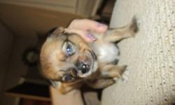 Ready to go in time for Christmas Jackawawa (JackRussell/Chihuahua) puppies for sale 4 males & 3 females born October 29th Vet checked & first shots The parents are both small and great temperment If interested please email or call 519-890-1780