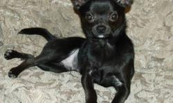 Male Chihuahua for sale. He's a beautiful puppy, just under a year old. Pee pad trained. Knows all basic commands (sit/stay/down/come) He's loves people and dogs.  He hasn't met any cats yet :) He rarely barks, very quiet. Weighs just under 5lbs. Hoping