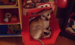 URGENT! Chihuahua for sale, very good with children. Reason to sell my children 2 years and allergic. for more INFORMATION please contact me by email thank you!   mailto:debbie_hache19@hotmail.com