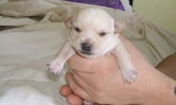 The mother is a Chihuahua and the father is a scottish terrior. 3 females and 3 males. Ready to go the end of February. Very Beatiful puppies. For more information please call 1-709-257-4697 and ask for Kayla or Wayne