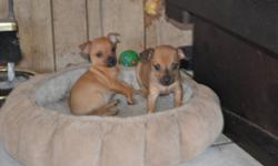 These 2 adorable female chihuahua's need Valentine Homes of their own. Ready to go February 13th with first shots and deworming. They have been loved and handled lots. Mom & Dad both live with us so they can be seen. If interested phone Wendy @