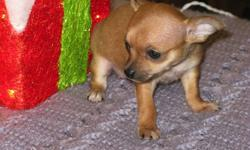 Chihuahua Puppies just in time for XMAS I have one male and two females chihuahua puppies, they will mature at 3 - 7 Lbs. The mother  weights 6.8 Lbs and the father weights 6.4 Lbs.  Vet checked and dewormed with 1st shots done. They have started paper