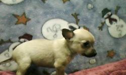 These little girls are wonderful in themselves, with their uniqueness and cute faces who wouldn't want to take them home and love them. They are perfect for a friend for your pet that you already have, Born 24-Oct-11 they ill be 8 weeks old Dec 9th and