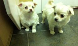 Two male white/fawn chihuahua puppies. They like a lot of attention. They were born on October 19 and will be ready for a new home on December 14. Mother is tri-color and is 6.5 pounds and father is white/fawn and is 3.5 pounds. First shots and deworming.