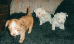 Long haired Chihuahua puppies .. 2 males..1 female. Very tough & hardy little dogs. Also good watch dogs. For more information call.