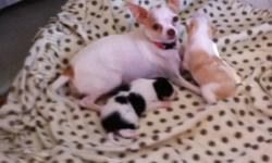 Very playful, snugly puppies. Father is a long haired Chihuahua who ways 3 1/3 pounds. Mother is has short hair who ways 5 pounds. The babbies are very sweet and need a home ASAP!!