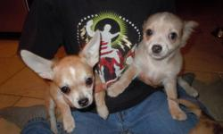 Reduced for xmas. 2 merle boys and 2 girls( 1 merle) are looking for their homes for xmas. Vet checked/ 1st shots/dewormed twice and comes with puppy starter pack. Parents are short haired and ckc registered but the puppies are not. Mother is 7 lbs,