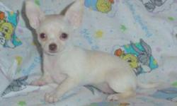 I have beautiful chihuahua boy looking forever home. he has all set of shots and 3 times de wormed. he like to play and very friendly with children .he is 100% paper trained and his parent under 5lb. if you are interested call me (604-846-6692)