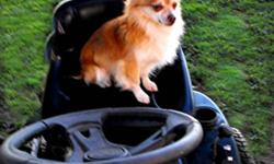 Buddy is a Quiet Polite Gentleman. Buddy is just gorgeous , his picture doesn?t show ?Justice? He will sit on your lap as long as you like. In his pictures he is waiting for me to return to finish  cutting the lawn. He loves he ride! Plus I think he is