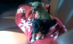 I have one little boy left to go, ready for his new family!  Mom is a 5 pound blonde short hair and Dad is a 6.5 pound brown long hair chihuahua.  He is eating kibble, papertrained (well almost completely) and well socialized with children, and other