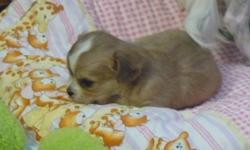 for sale baby chihuahua;s, asking 6 hundred, call betty 705-254-3733