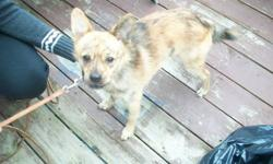 chihuahua terrier  12 inch high . NEUTERED male. very friendly  , dedicated, loves people, good with other pets, but prefers to be the only pet.    price includes neutering fee. please state the kind of home you can offer this loving dog.