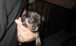 2 Male, short haired, ChiXMin Pin puppies for sale.  When they are ready to be rehomed they will come with their first set of shots and vet check. Both parents are mild mannered and the puppies will have been raised in a home with children.  One is tan
