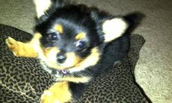 One Female left born Sep 23rd 2011 First Shots and dewormed. Ready to go Dec 3rd to loving home. Call 604-838-4664 to view