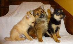 Chihuahua X Pom (((647-839-6804))) I have male and female available, they were vet checked, dewormed and got first set of shots, will mature to be 5-6lbs fully grown. Included a health guarantee and a goody bag!  For more info: 647-839-6804.