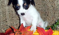 5 Adorable Chihuahua X puppies. ONLY 1 LEFT....DON'T MISS OUT!   Pups are Vet checked and have their first shots. They have been wormed and have Revolution applied. (for ticks, mites, fleas etc.)   Sweet little bundles of joy, ready for their forever