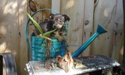Chihuahua X Toy Terrier Puppies       There is 1 Female and 1 male left!!. The 1st 5 pictures is the FEMALE. Our puppies are vet checked, 1st shots, comes with Vet records and dewormed. They also come with a puppy package that include toys, a collar, a